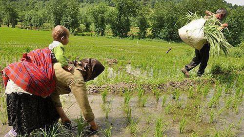 خرده مالکی؛ چرخه ی ناکارآمدی کشاورزی مازندران